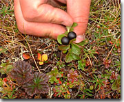 Bear berries are abundant, growing from small sprigs.