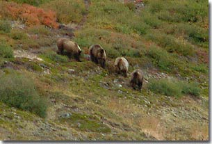 Four full-grown grizzlies traveling and feeding together is unusual and a hair-raising experience up close.