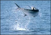 This tarpon takes to the air, trying to throw the hook.